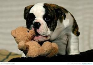 1354033743~Tricolored-Australian-Bulldog-biting-a-teddybear